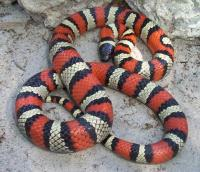 Ruthvens_king_snake_photo_by_Mark_Kenderdine